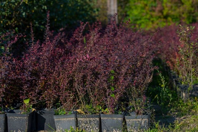 Berberys Thunberga odm. Czerwonolistna 20-30 cm, donica 3l
