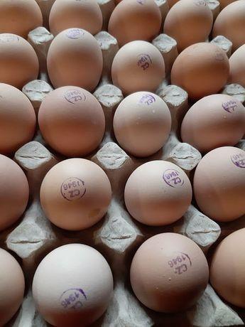 Инкубационное яйцо бройлер