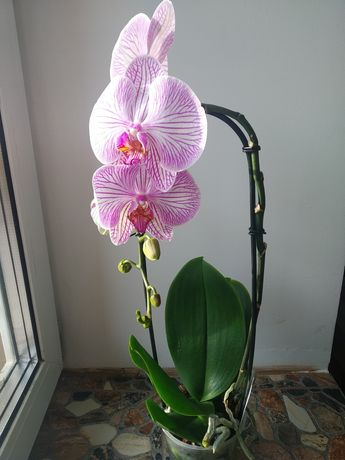 Орхідея Фаленопсис на каскаді, 350 грн