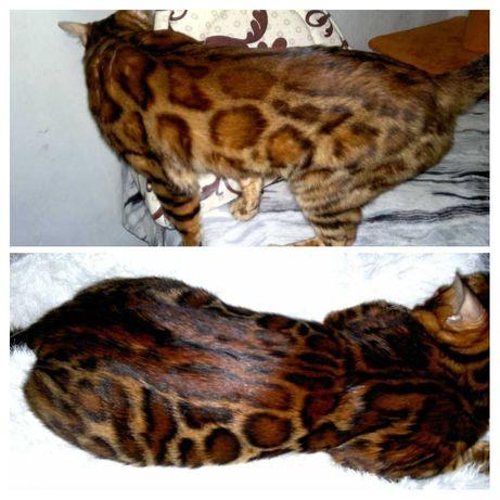 Котята бенгальские готовые к продаже