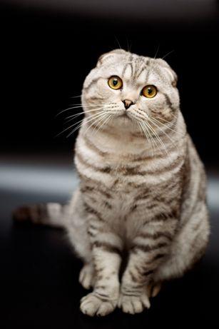Шотландский вислоухий котик предлагает вязку