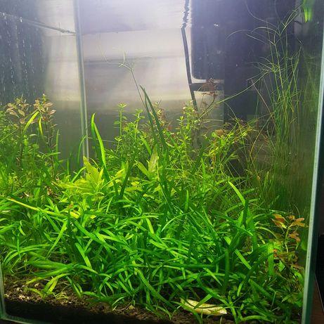 Nano akwarium Aquael, optiwhite- kostka, z obsadą (krewetki i rośliny)