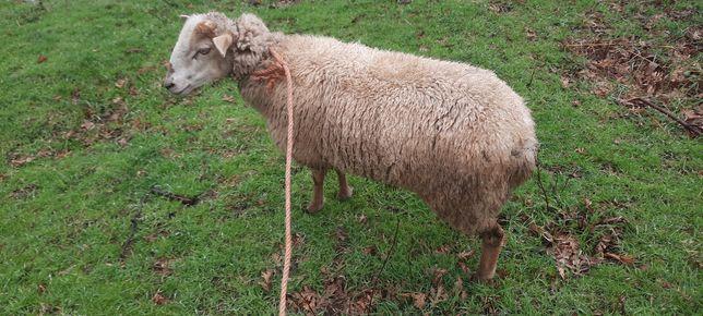Ovelha com 12 meses