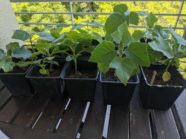 Paulownias em vaso, prontas para plantar em local definitivo