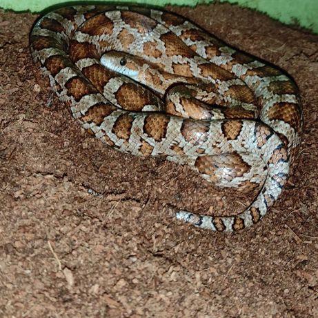 Wąż zbożowy Dorosła samica classic