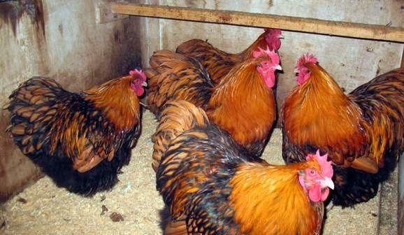Орпингтон яйцо для инкубации Золотой-Черноокаймленный Палевый, Голубой