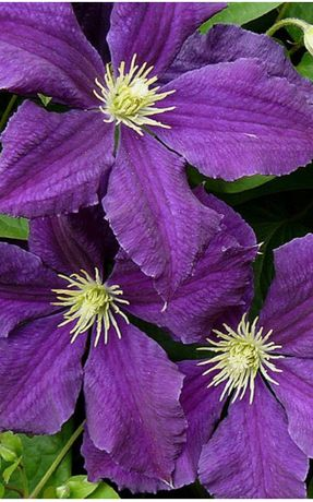 Клематисы фиолетовые