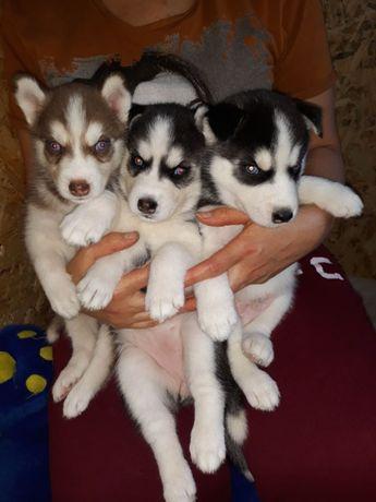Продаются чудесные малыши Сибирской Хаски