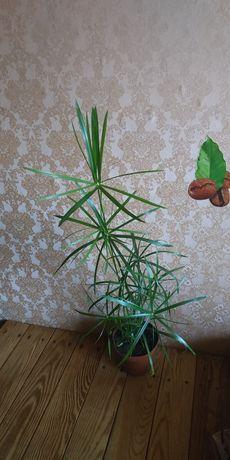 Циперус, кактус, аустроцилиндропунция шиловидная