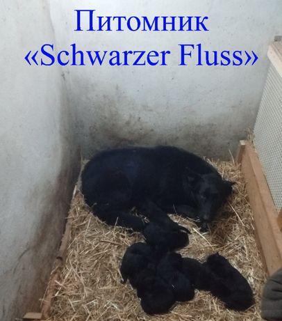 Щенки немецкой овчарки питомника «Schwarzer Fluss» черного окраса.