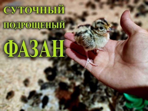 Суточные и подрощеный фазан