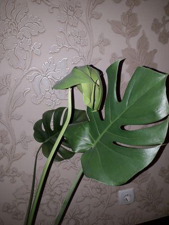 Цветок монстера,с корнями ,уже есть 5 листочков