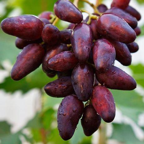 Черенки и вегетирующие саженцы винограда