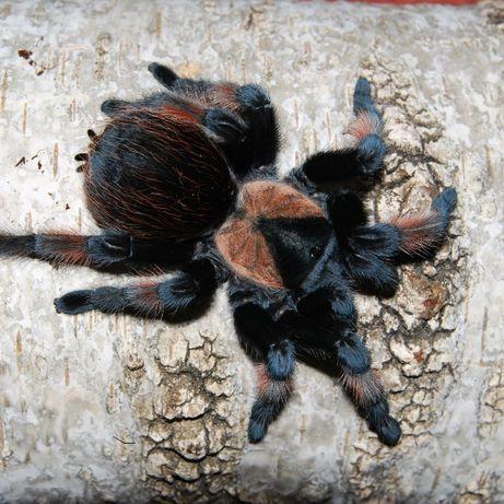 Brachypelma emilia самка паука птицееда для новичков