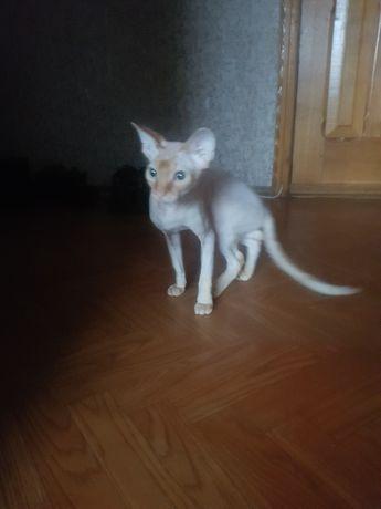 Кот,сфинкс вязка