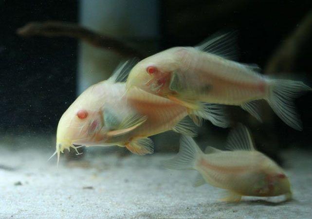 kirys albinos sklep