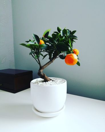 Drzewka bonsai: mandarynka | WYSYŁKA
