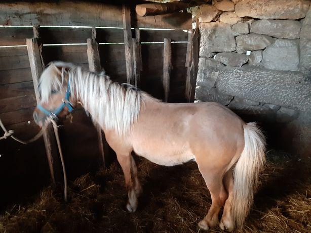 Mini ponei  palomino 85cm inteiro