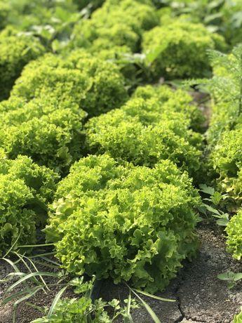 Зелень( укроп,  петрушка, лук, руккола ,шпинат , щавель , базилик )