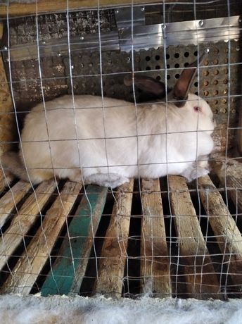 Кролики Калифорния Полтавское серебро