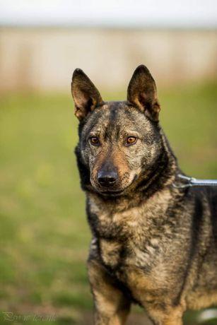 Edi, przepiękny i mądry pies szuka cierpliwego opiekuna.