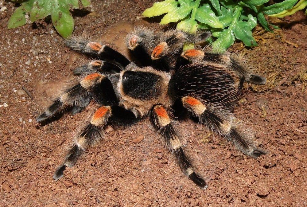 паук птицеед для новичков Brachypelma Smithi отправка по Украине