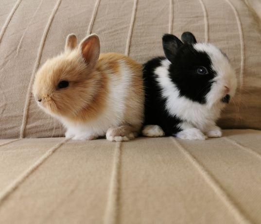 Coelhos anões mini holandês, minitoy e teddy desparasitados