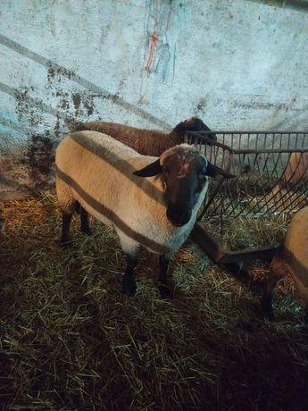 Vendo carneiro suffolk
