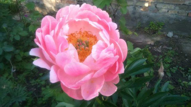 Пион Pink Coral Hawain