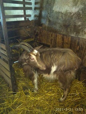 Продається коза вік 4 роки