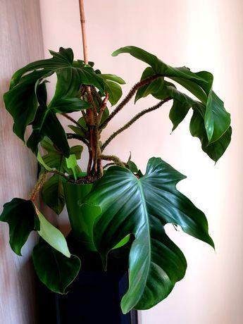 Philodendron Squamiferum - kolekcjonerski, rozmiar XL