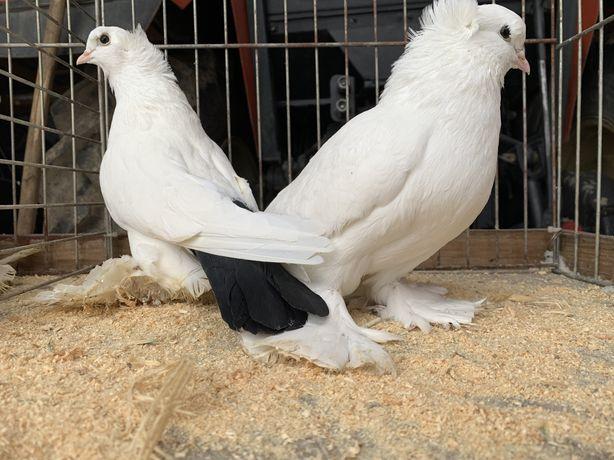Gołębie Bije Północnokaukaskie , ozdobne , ptaki ,pawiki