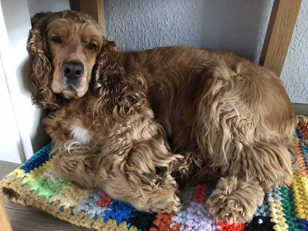 Zagubiono psa spaniel rybnik śląskie radlin wodzisław śląsk pies