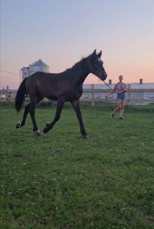 Koń, wałach w typie Tinkera