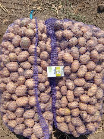 Насіння картопля Арізона, Рів'єра