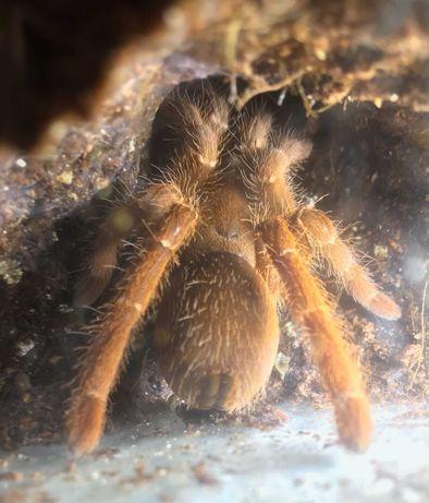 Pelinobius muticus (samica) - ANIMALE