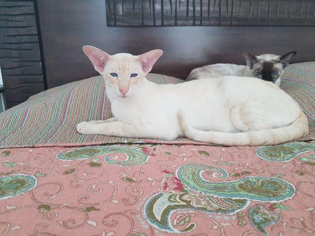 Красивейший кот на вязку