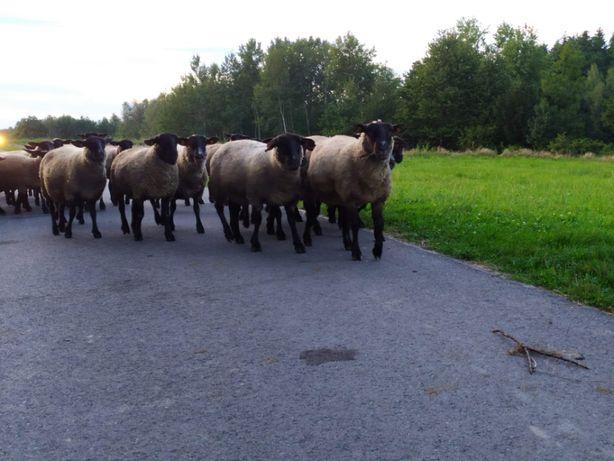 Sprzedam owce kotne rasy Suffolk
