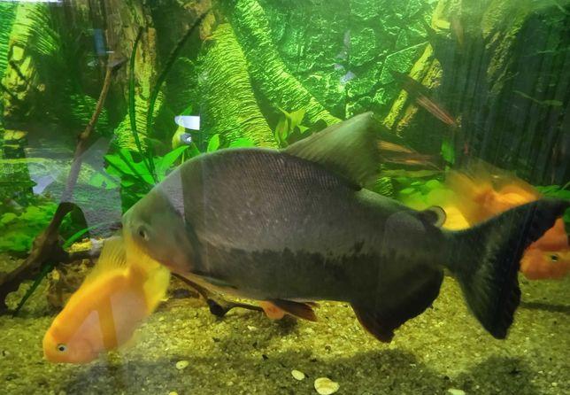Пиранья       35 см        красивая         рыбка