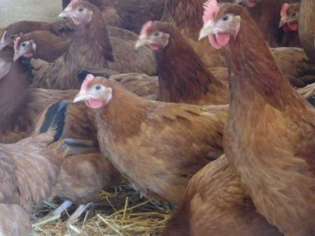 Kury nioski , perliczki , kaczki , kurczaki