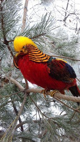 Золотий фазан