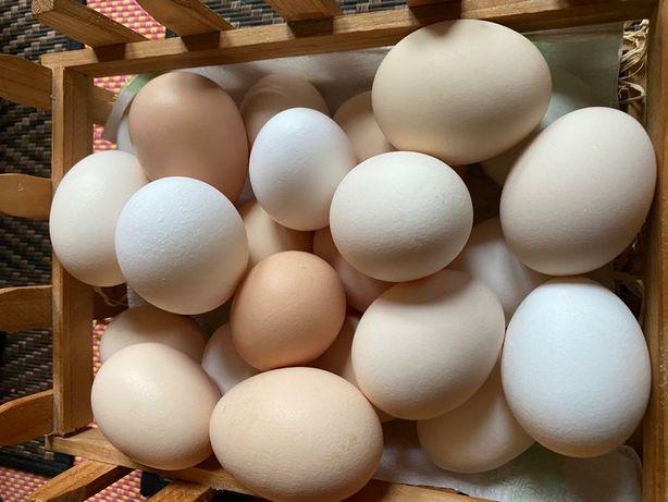 Kurze jaja z wolnego wybiegu