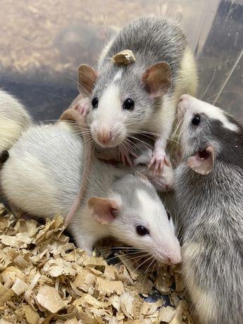 Декоративная крыса окрас хаски, декоративные крысята