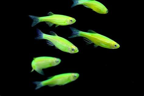 Danio fluorescencyjne