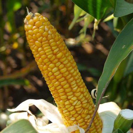 Materiał siewny kukurydzy Euralis Saatbau Syngenta Limagrain Maisadour