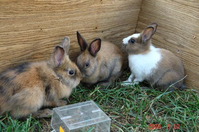 królik króliki miniaturki młode duzy wybór
