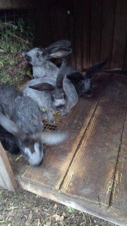 Продам молодняк кроликів породи полтавське срібло