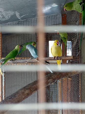 Продам молодёжь ожереловых попугаев