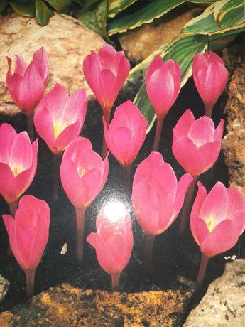 Крокус великоквітковий