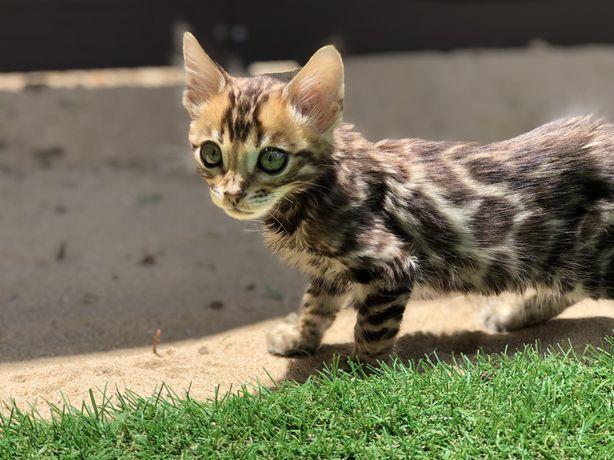 Gato Bengal bebe